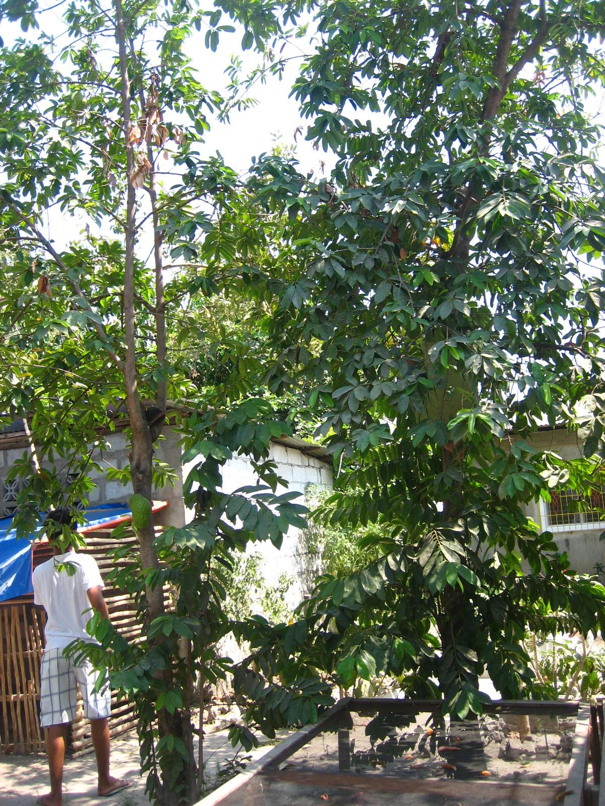 Guanabana - amazing cancer killing fruit!  |Guyabano Tree