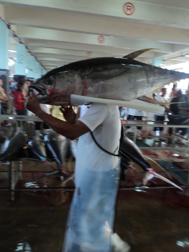 The same 50 kilo fish